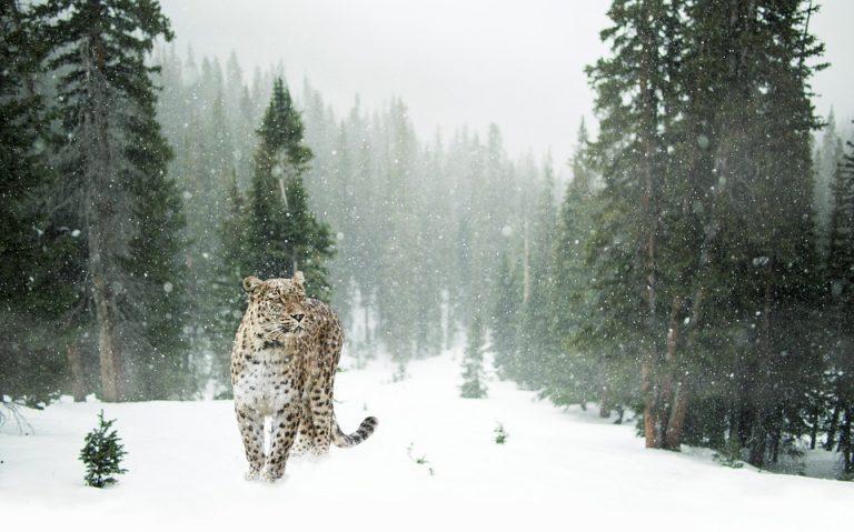 persian-leopard-1647940_960_720