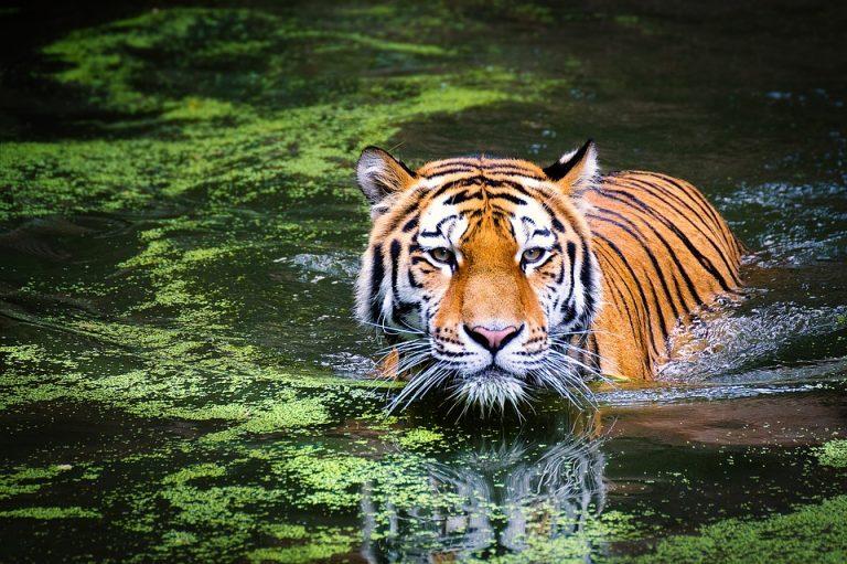 tiger-2535888_960_720